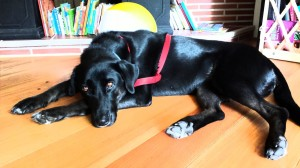 Delilah_black lab mix_adopter pic_lying on floor_12-7-14