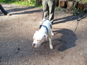 Ringo_male white and grey pit mix_Devore_walking front view_March 2015